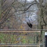 Heron at Kirkstall Abbey Park